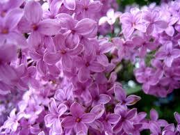 http://tbn2.google.com/images?q=tbn:9Nj-v6jRpN0HaM:http://feb28.com/wp-content/images/lilac-flowers-3.jpg