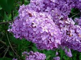 [Imagen: Lilas-flowers2.jpg]