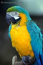 http://tbn2.google.com/images?q=tbn:JqZm7UYmSRxOcM:http://www.danheller.com/images/California/SantaBarbara/Zoo/blue-n-yellow-parrot-1-big.jpg