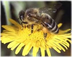 النحل و العسل
