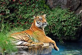 NZEL06_159-tigre-bengale