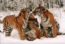 tigre2_ifaw