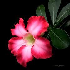 http://tbn2.google.com/images?q=tbn:R5Z2edUQt8xSMM:http://www.botanica.uk.net/images/Succulents/Adenium%2520obesum%25201%2520x.jpg
