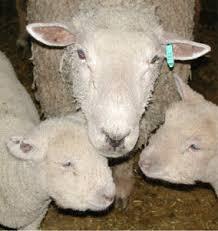 تغذیه گوسفند