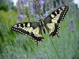 http://tbn2.google.com/images?q=tbn:isiCIAMJ6BXi9M:http://www.cahurel-entomologie.com/images/machaon03.JPG