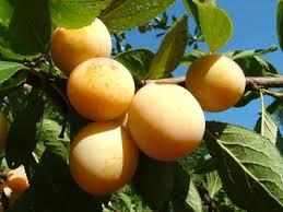 Chapardée de fruits d'été