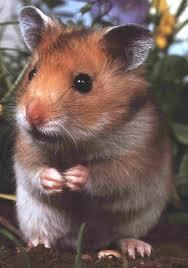 external image hamster.jpg