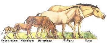 external image horse-evolution-species.jpg