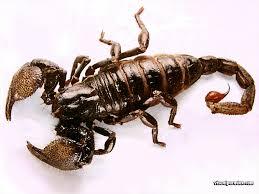 ���ܿ��� scorpion.jpg