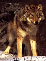 <img:http://tbn2.google.com/images?q=tbn:ooVeHkv6vIgK6M:http://hal_macgregor.tripod.com/kennel/Redwolf.jpg>