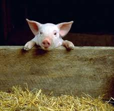 Abattons les ! - Folie passagère n°84 cochon