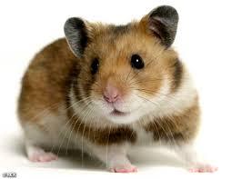 HamsterREX_468x362.jpg