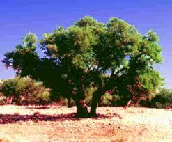 فوائد زيت الاركان........ المغربى رووعة argan.jpg