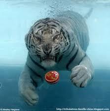 tigre_eau