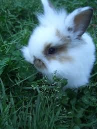 lionhead__lop_cross_bunny_really_cute.jpg
